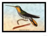 Hummingbird: Ramphodon Naevius Poster by Sir William Jardine