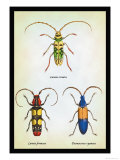 Beetles: Lamia Ornata, L. Formosa and Desmocerus Cyaneus Posters by Sir William Jardine