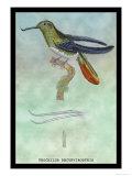 Hummingbird: Trochilus Recurvirostris Posters by Sir William Jardine