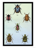 Beetles of Cape, America, Manilla, N. Holland and Brazil Posters by Sir William Jardine