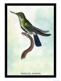 Hummingbird: Trochilus Avocetta Prints by Sir William Jardine