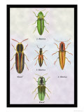 South American Beetles Posters by Sir William Jardine