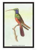 Trochilus Multicolor Posters av Sir William Jardine