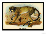 The Talapoin Prints by G.r. Waterhouse