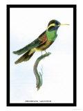 Hummingbird: Trochilus Leucotis Posters av Sir William Jardine