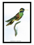 Hummingbird: Trochilus Leucotis Posters by Sir William Jardine