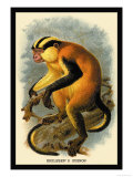 Erxleben's Guenon Prints by G.r. Waterhouse