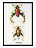 Beetle: Chinese Sagra Buquetu Posters by Sir William Jardine