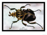 Beetle: African Goliathus Magnus Posters by Sir William Jardine