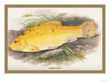 Golden Tench Prints by A.f. Lydon