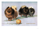 Three of Mrs. Hall Walker's Champion Pomeranians Posters