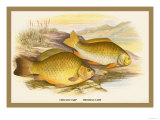 Crucian and Prussian Carp Prints by A.f. Lydon