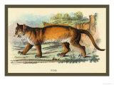 Puma Kunst av Sir William Jardine
