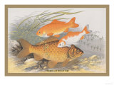 Golden and Bronze Carp Print by A.f. Lydon