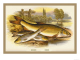 Gudgeon and Barbel Prints by A.f. Lydon
