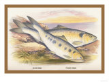 Allis Shad and Twaite Shad Print by A.f. Lydon