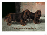 Two Champion Sussex Spaniels Posters