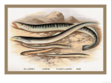 Sea Lamprey, Lampern, Planer's Lamprey and Pride Posters by A.f. Lydon