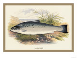 Salmon Trout Posters by A.f. Lydon