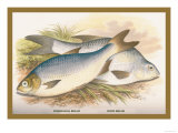 Pomeranian and White Bream Prints by A.f. Lydon