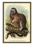 The White-Footed Marmoset Print by Sir William Jardine