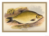 Common Bream Posters by A.f. Lydon