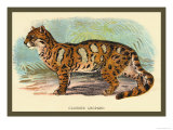 The Clouded Leopard Prints by Sir William Jardine
