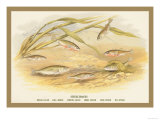 Sticklebacks Prints by A.f. Lydon