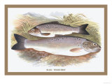 Black-Finned Trout Prints by A.f. Lydon
