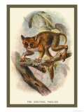 The Spectral Tarsier Print by Sir William Jardine