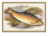 Gilaroo Trout Prints by A.f. Lydon