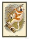 Conquerel's Siafka Posters av Sir William Jardine