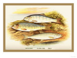 Young Trout, Salmon Parr. and Smelt Print by A.f. Lydon