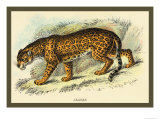 Jaguar Prints by Sir William Jardine