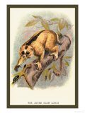 The Javan Slow Loris Prints by Sir William Jardine