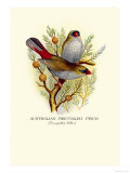 Australian Fire-Tailed Finch Posters by Arthur G. Butler