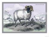 Black Faced Ram Prints by John Stewart