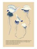 Physalle de l'Ocean Pacifique Austral Prints