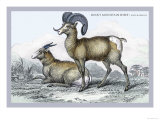 Rocky Mountain Sheep Poster by John Stewart