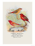 Common Amaduvale, American Fire Finch Poster by Arthur G. Butler