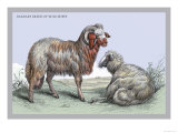 Barbary Breed of Wild Sheep Prints by John Stewart