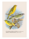 St. Helena Seed-Eater, Green Singing-Finch Print by Arthur G. Butler
