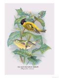 Black-Headed Siskin Posters by Arthur G. Butler