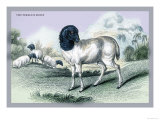 The Persian Sheep Prints by John Stewart