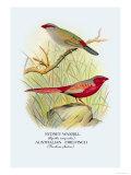 Sydney Waxbill, Australian Fire-Finch Prints by Arthur G. Butler