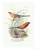 Violet Eared Waxbill Prints by Arthur G. Butler