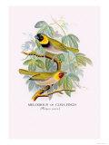 Cuba Finch Posters by Arthur G. Butler