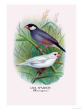 Java Sparrow Posters by Arthur G. Butler