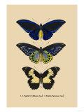 Papilio Urvillianus, Guer Posters