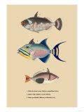 Baliste du Grand Ocean Posters